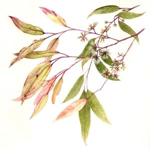 Eucalyptus piperita ssp urceolata