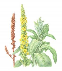 Common Mullein - Verbascum thapsus - watercolor